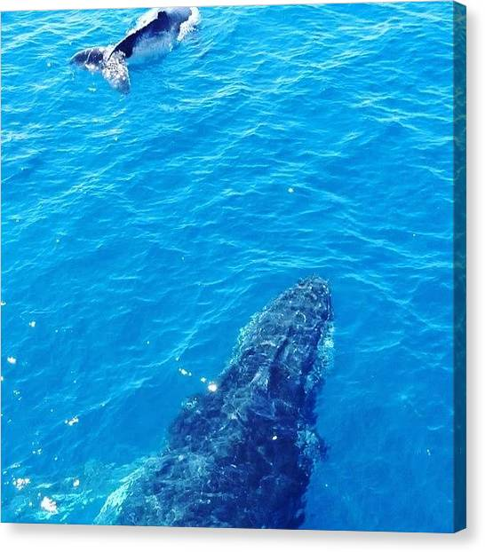 Whales Canvas Print - Hervey Bay Live Right Now #herveybay by Tony Keim