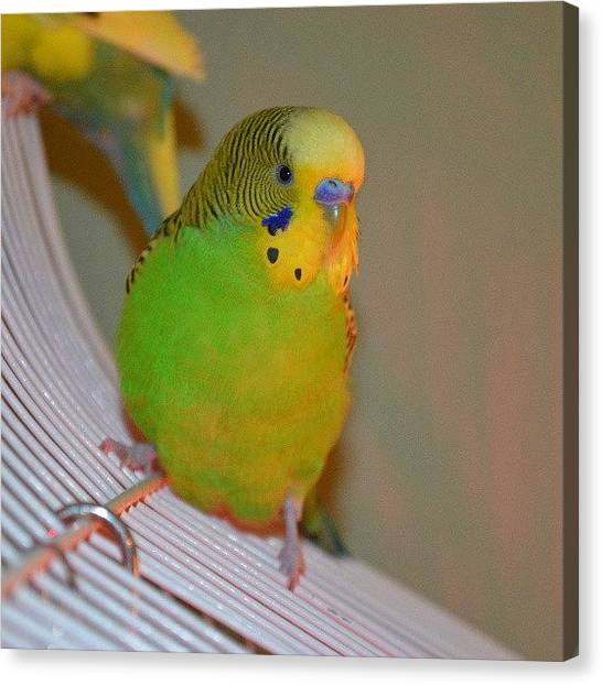Parakeets Canvas Print - He's No Longer Baby Linix, He Is Mr by Ning Torres