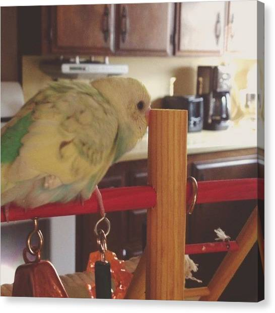 Parakeets Canvas Print - He's So Talkative In The Mornings 😬 by Bella Cupcake