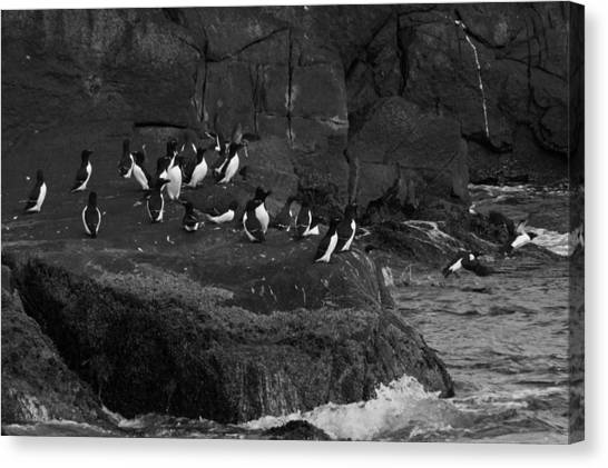 Razorbills Canvas Print - Hey All An Auk by Daniel Hebard