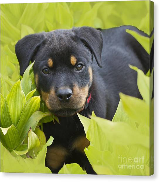 Rottweilers Canvas Print - Hey Here I Am by Heiko Koehrer-Wagner