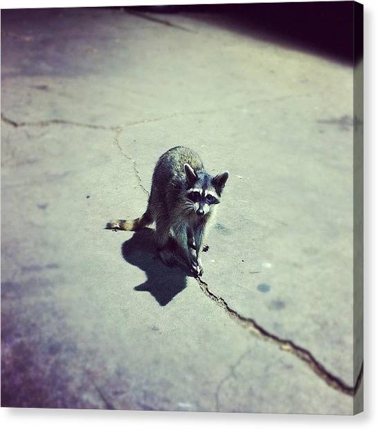 Raccoons Canvas Print - Hey Thar, Little Buddy! by C T