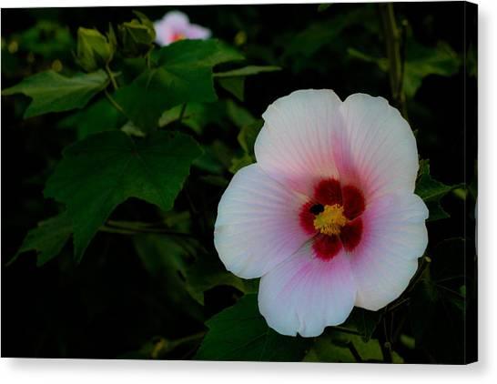 Hibiscus Mutabilis Flower Canvas Print by Donald Chen