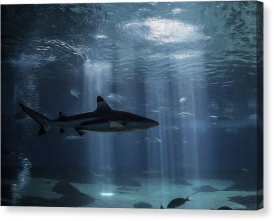 Black Tip Sharks Canvas Print - Hidden From Light by Brad Scott