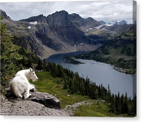 Hidden Lake Mountain Goat Canvas Print by Robert Yone