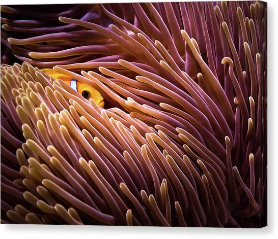Anemonefish Canvas Print - Hide And Seek... by Luckyguy