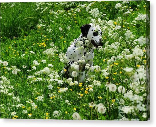 Dalmations Canvas Print - Hiding Among Dandelions. Kokkie. Dalmation Dog by Jenny Rainbow