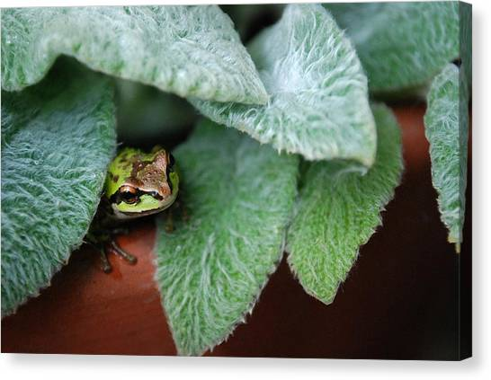 Hiding In Lambs Ear Canvas Print
