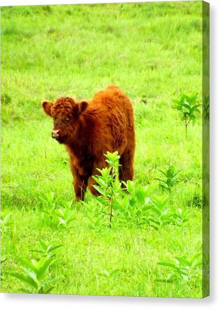 Highland Calf Canvas Print by Dancingfire Brenda Morrell
