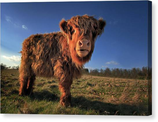Yak Canvas Print - Highland Calf by Paul Baggaley