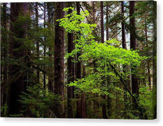 Olympic National Park Canvas Print - Highlight by Chad Dutson