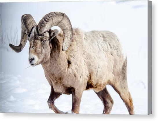 Big Horns On This Big Horn Sheep Canvas Print