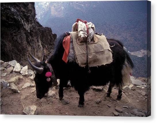 Yaks Canvas Print - Himalaya Mountains by Scott Warren