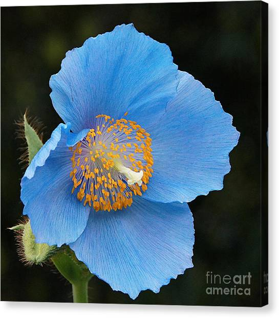 Himalayan Gift -- Meconopsis Poppy Canvas Print