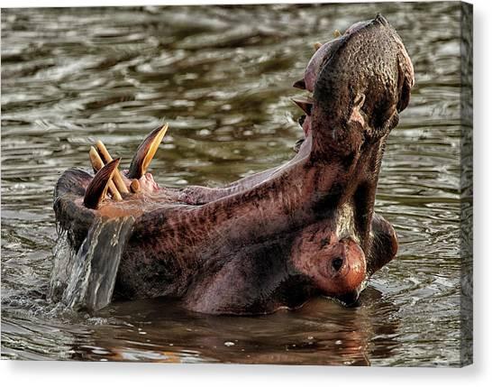 Congo River Canvas Print - Hippo -hippopotamus Amphibius- by David Santiago Garcia