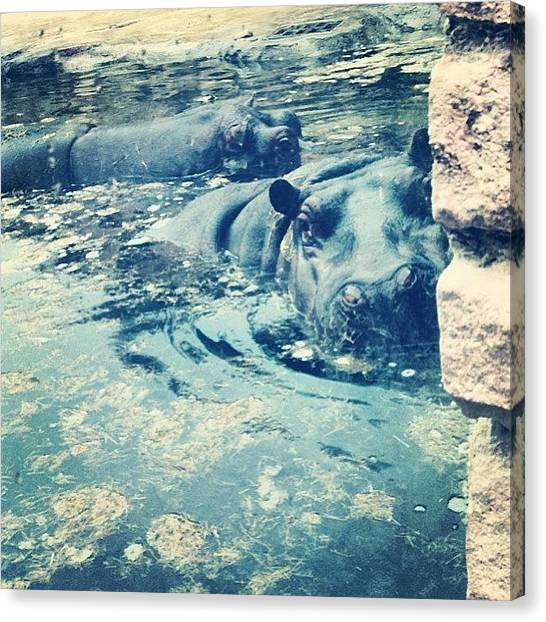 Hippos Canvas Print - #hippo #praha #prague #zoo by Laura Hindle