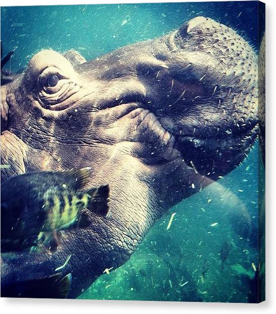 Hippos Canvas Print - #hippo!!! @tim_duve by Whitney Robinson