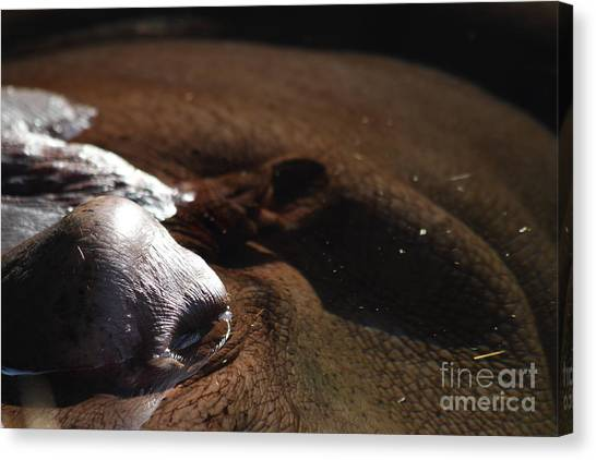 Congo River Canvas Print - Hippopotamus 7d27315 by Wingsdomain Art and Photography