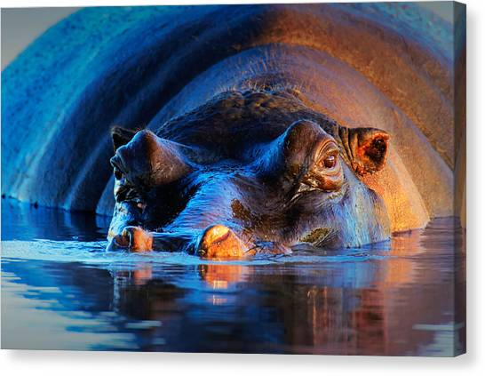 Hippos Canvas Print - Hippopotamus  At Sunset by Johan Swanepoel