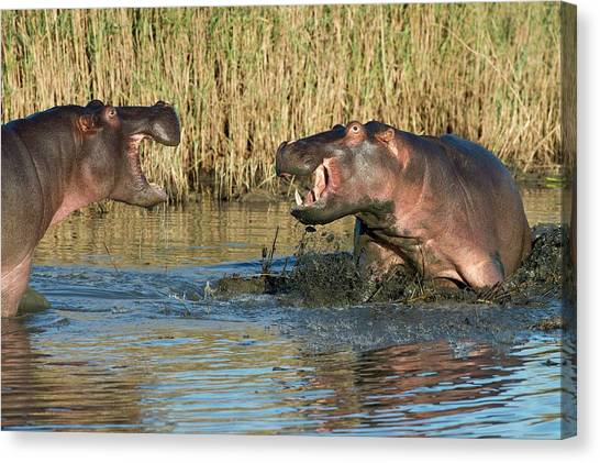 Southern Africa Canvas Print - Hippopotamus Confrontation by Tony Camacho