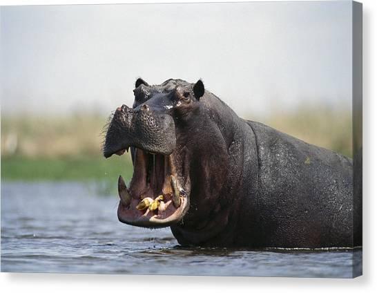 Okavango Swamp Canvas Print - Hippopotamus Threat Display Linyanti by Gerry Ellis