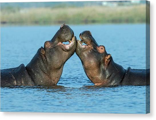 Hippopotamuses Being Affectionate Canvas Print by Tony Camacho/science Photo Library