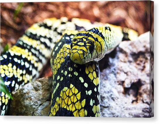Pythons Canvas Print - Hissed by Matthew Gordon
