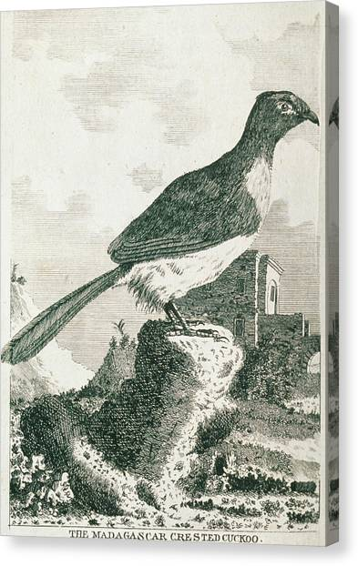 Cuckoos Canvas Print - Historical Art Of Crested Cuckoo (coua Sp.) by George Bernard/science Photo Library