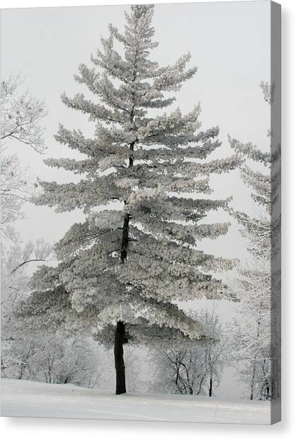 Hoarfrost Pine Tree Canvas Print by Rob Huntley