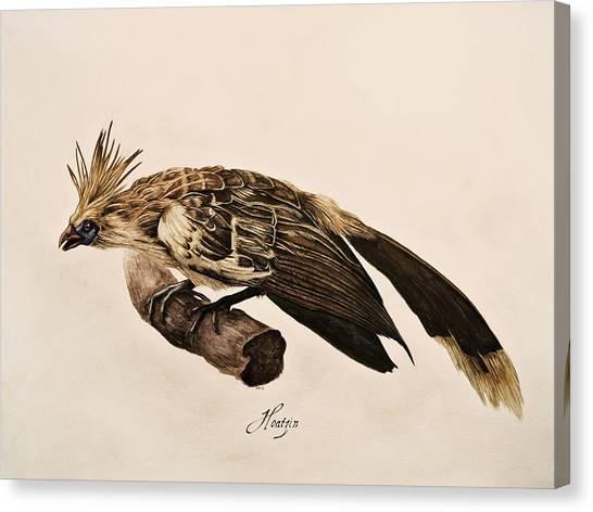 Hoatzin Canvas Print by Rachel Root