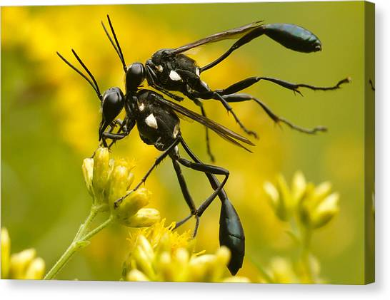 Wasp.insect Canvas Print - Holding On by Shane Holsclaw
