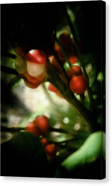 Holly From The Dark  Canvas Print