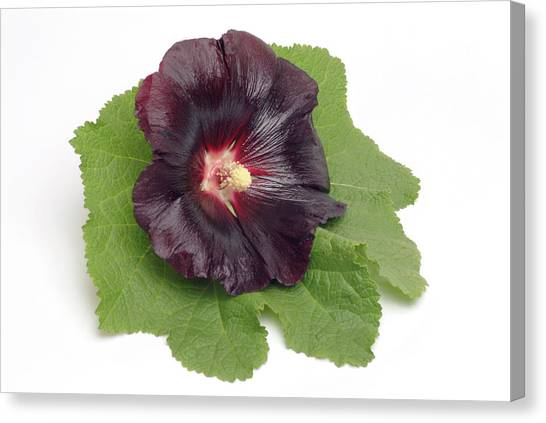 Hollyhock (alcea Rosea) Canvas Print by Bildagentur-online/th Foto/science Photo Library