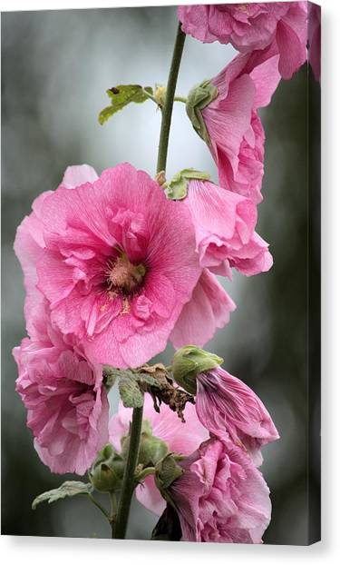 Hollyhock Canvas Print