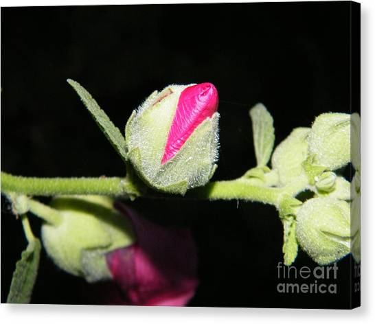 Canvas Print featuring the photograph Hollyhock Buds by Ann E Robson