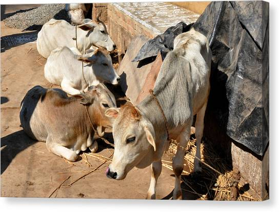 Holy Cows Odisha India Canvas Print