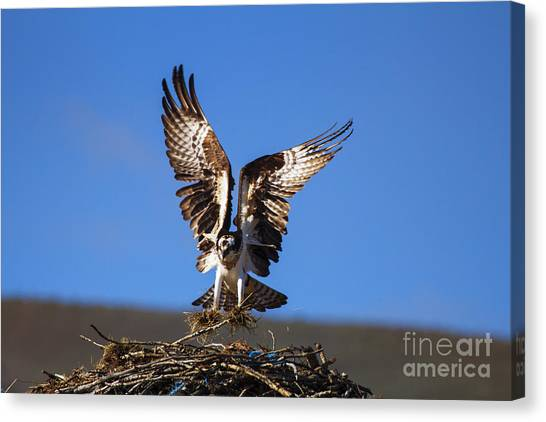 Osprey Canvas Print - Homebuilder by Mike  Dawson