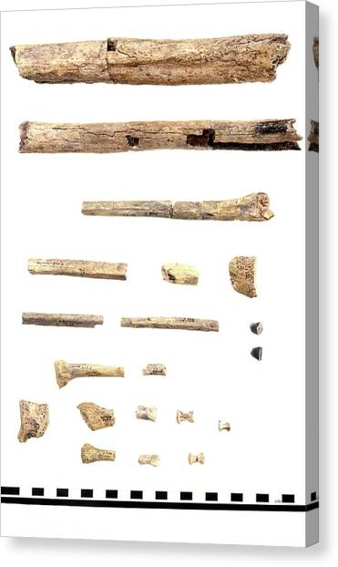 Homo Skeleton Fragments Canvas Print by John Reader/science Photo Library