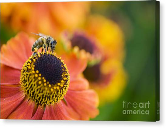Pollinator Canvas Print - Honey Bee On Helenium by Tim Gainey