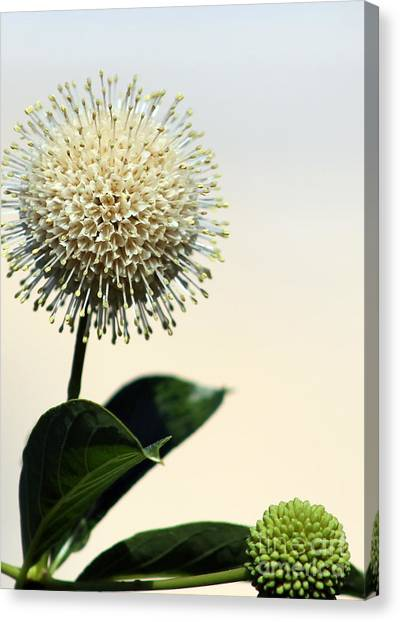 Coffee Plant Canvas Print - Honey-bells Meditation Coming To Fruition by Renee Croushore