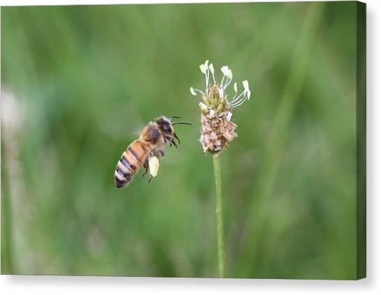 Honeybee And English Plantain Canvas Print