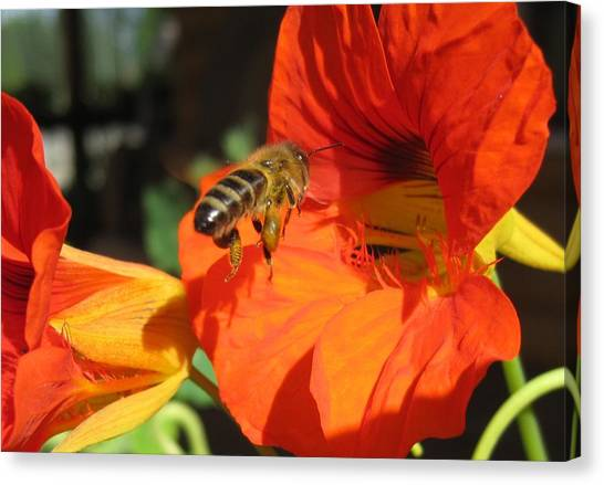 Honeybee Entering Nasturtium Canvas Print