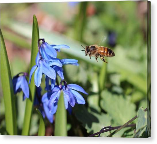 Honeybee In Flight Canvas Print