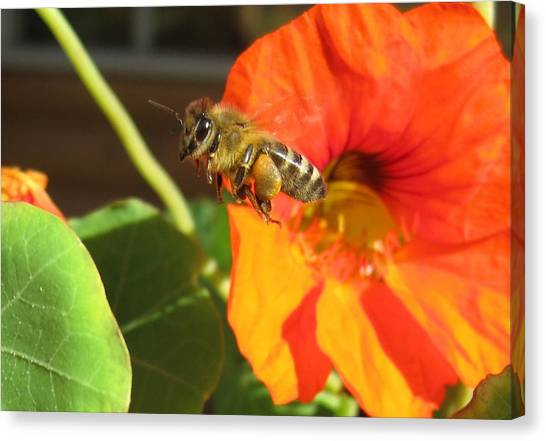 Honeybee Leaving Nasturtium With A Full Pollen Basket Canvas Print