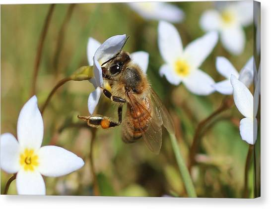 Honeybee On Bluet Canvas Print