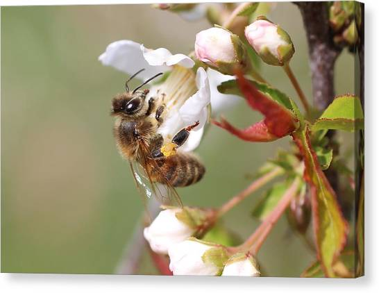 Honeybee On Cherry Blossom Canvas Print