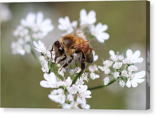 Honeybee On Cilantro Canvas Print
