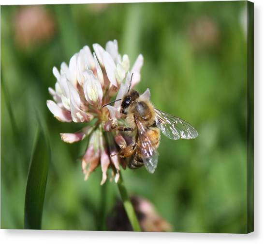 Honeybee On Clover Canvas Print