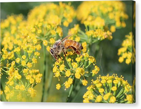 Honeybee On Dill Canvas Print