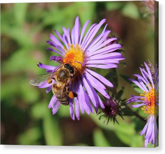 Honeybee On Purple Wild Aster Canvas Print